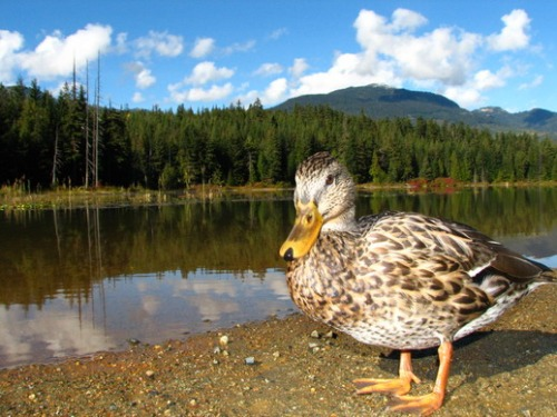 A mallard duck enjoys some of Whistler's prime wetland. Photo: Bob Brett