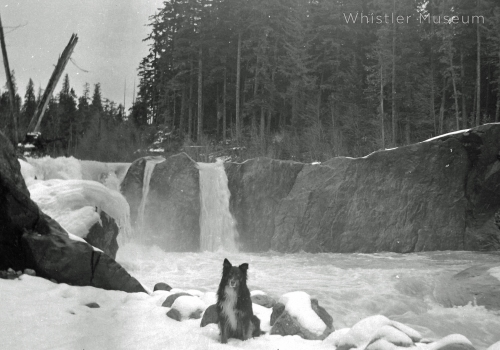 Tweed Neiland Jardine dog at Cheakamus in 1930s