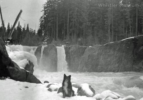 Tweed Neiland Jardine dog at Cheakamus in 1930s